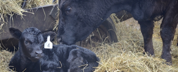 Calves Make Their Arrival at Ancilla Beef & Grain Farm